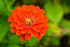 De rode bloem van de zomer Stock Foto's