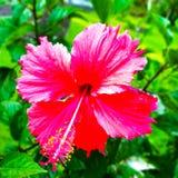 De rode bloem van de gumamelainstallatie stock afbeelding