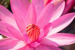 De rode bloem van het lotusbloemstuifmeel stock afbeelding