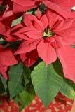 De rode bloem van Kerstmis Stock Afbeelding
