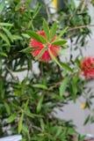 De rode bloem van myrtaceae van callistemoncitrinus plant cilinder schoonmakende installatie van het Gebied van de Middellandse Z royalty-vrije stock afbeeldingen
