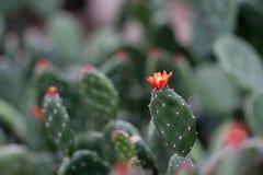 De rode bloem van Opunia, Quitensis-cactus royalty-vrije stock fotografie