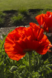 De rode bloem van papaverpapaveroideae Stock Afbeeldingen