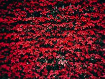 De rode bloem van poinsettiakerstmis in de tuin royalty-vrije stock foto