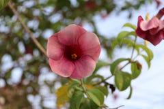 De rode bloem van savlonmandevilla op de tak van groene boom stock afbeelding