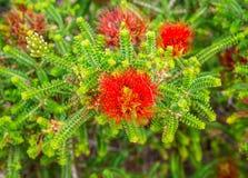 De rode bloem van zandbottlebrush in Koningenpark en Botanische Tuinen Royalty-vrije Stock Foto's