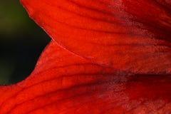 De rode bloemblaadjes van bloem bloeiende Hippeastrum Stock Foto's