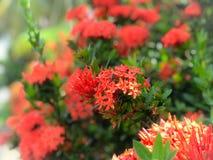 De rode bloemen spijkeren bloemen mooie bloem vast stock foto