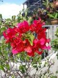 De rode bloemen van Bougainvillea Royalty-vrije Stock Foto's