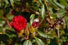 De rode bloemen van de alperoserododendron, selectieve nadruk Ericaceae Stock Foto's