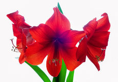 De rode bloemen van de Amaryllis Stock Afbeeldingen