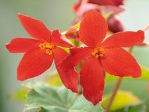 De rode Bloemen van de Begonia Stock Afbeeldingen