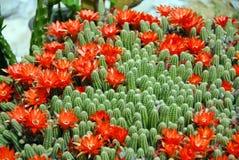 De rode bloemen van de cactus Stock Afbeelding