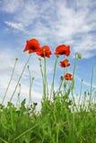 De rode Bloemen van de Papaver Stock Foto's