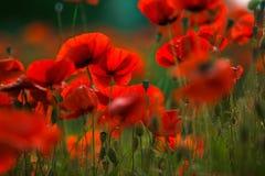 De rode Bloemen van de Papaver royalty-vrije stock foto's