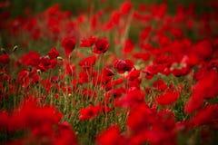 De rode Bloemen van de Papaver stock foto