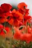 De rode Bloemen van de Papaver stock afbeeldingen
