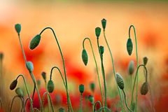 De rode Bloemen van de Papaver van het Graan stock afbeeldingen