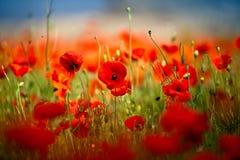 De rode Bloemen van de Papaver van het Graan stock afbeelding