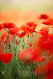De rode Bloemen van de Papaver van het Graan stock foto's