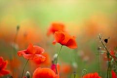 De rode Bloemen van de Papaver van het Graan stock foto