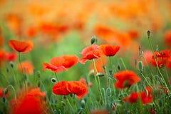 De rode Bloemen van de Papaver van het Graan stock fotografie