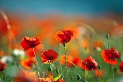 De rode Bloemen van de Papaver van het Graan royalty-vrije stock afbeelding
