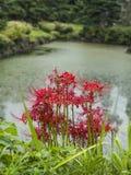 De rode bloemen van de spinlelie Stock Foto's