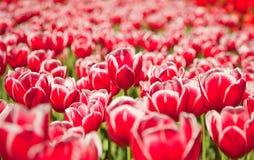 De rode bloemen van het gebied Royalty-vrije Stock Foto's