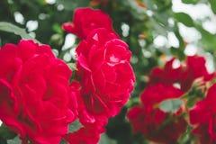 De rode bloemen van rozenbush in de tuin stock foto's