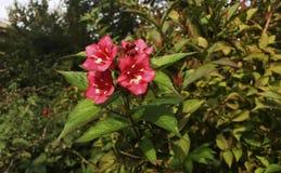 De rode bloemen van Weigelaflorida in de de zomertuin stock foto