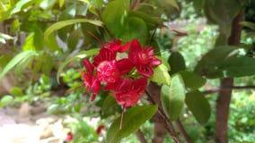 De rode bloemen zijn zonlicht in de tuin Stock Foto's