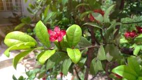 De rode bloemen zijn zonlicht in de tuin Royalty-vrije Stock Afbeeldingen