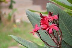 De rode bloesem genoemd plumeria Stock Afbeeldingen