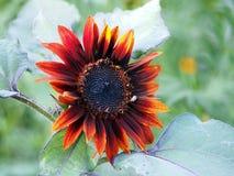 De rode bloesem van de advertentie oranje zonnebloem Royalty-vrije Stock Afbeeldingen
