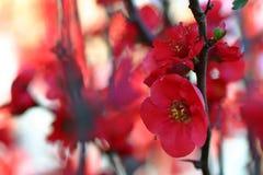 De rode Bloesem van de Bloem Royalty-vrije Stock Afbeeldingen