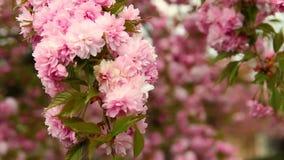 De rode bloesem van de kersenboom, reknadruk stock videobeelden