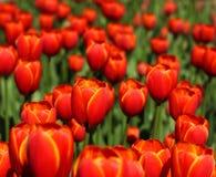 De rode Bloesem van Tulpen in tuin Stock Foto