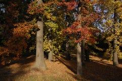 De rode bomen van de Esdoorn stock foto