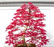 De rode bonsai van de Esdoornboom Stock Fotografie