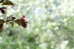 De rode boom van de bloesemappel en groen doorbladert stock afbeeldingen