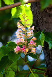 De rode boom van de bloemkastanje Royalty-vrije Stock Fotografie