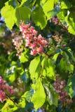 De rode boom van de bloemkastanje Stock Afbeeldingen