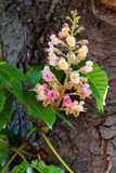 De rode boom van de bloemkastanje Royalty-vrije Stock Foto's