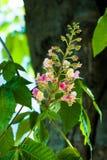 De rode boom van de bloemkastanje Stock Fotografie
