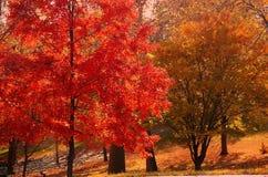 De rode boom van de herfst Stock Foto's