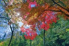 De rode boom van het esdoornblad, Stock Foto's