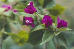 De rode bougainvilleabloemen in de tuin, mooie bougainvillea bloeit voor behangtextuur en achtergrond Stock Fotografie