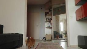 De rode Britse kat krast en ruikt omhoog tapijt op vloer en onderzoekt het Nieuwsgierige kat thuis stock videobeelden