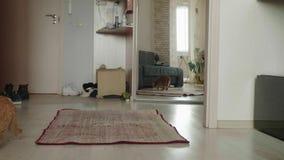 De rode Britse kat krast en ruikt omhoog tapijt op vloer en onderzoekt het Nieuwsgierige kat thuis stock video